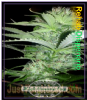 Dispensario Rehab Female 10 Cannabis Seeds